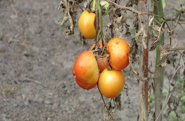 Çürük domatesten elektrik üretme
