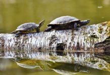 kaplumbağa yemi